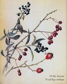 Winter berries.  http://www.rosettabooks.com/book/the-country-diary-of-an-edwardian-lady/