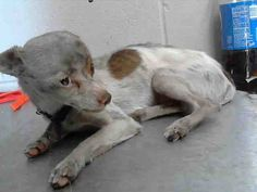 #A471422 Release date: 8/26 I am a male, white and brown Chihuahua - Smooth Coated. Shelter staff think I am about 6 months old. I have been at the shelter since Aug 19, 2014.  PETHARBOR: http://www.petharbor.com/pet.asp?uaid=SBCT.A471422  San Bernardino City Animal Shelter 333 Chandler Place, San Bernardino, CA Telephone (909) 384-1304 https://www.facebook.com/photo.php?fbid=10203317154627197&set=a.10203202186593068&type=3&theater