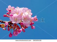 closeup on full blooming cherry blossoms with blue sky on spring season japan
