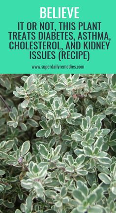 Believe it or not, This Plant Treats Diabetes, Asthma, Cholesterol, and Kidney Issues (RECIPE) Herbal Cure, Herbal Remedies, Health Remedies, Home Remedies, Hot Flash Remedies, Health Essay, Health And Wellness, Health Care, Oils For Sinus