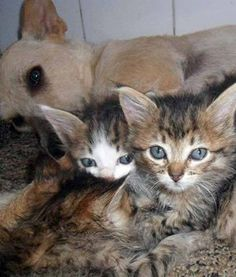 """Former street dog came to the rescue of a litter of kittens abandoned in a trash heap. Banzé (or """"Scamp"""") found the kittens when he was out in a neighborhood near São Paulo's Jardim Aeroporto (Garden Airport) in Brazil. Banzé sniffed out the kittens in a cardboard box. As soon as he found them, he took it upon himself to rescue them. He gently tore the box apart, and then carried the kitten one-by-one back to his guardian's home. DogHeirs  """