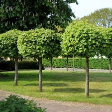Image Result For Acer Globosum Lollipop Tree Garden Trees Garden Styles Tree
