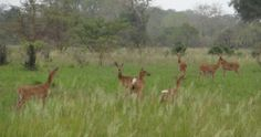 Just as impalas are common in the Northern National Parks of Tanzania, the #BohorReedbuck can be seen quite regularly in #Saadani National Park