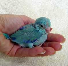 dark turquoise parrotlet - Google Search
