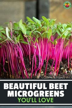 Beet microgreens are tasty toppings for salads, toast, or many other things! We share the right technique for growing these simple greens.