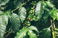 Coffee Trees by Richard Brown - Stocksy United Coffee Images, Plant Leaves, Trees, Stock Photos, Fruit, Brown, Plants, Arbor Tree, Coffee Pictures