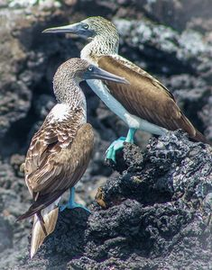 A Pair of Blue Footed Boobies, Galapagos by Venetia Featherstone-Witty Photography Contests, Travel Photography, Blue Footed Booby, Online Contest, Galapagos Islands, Bird Art, Online Art, Fine Art America, Beautiful Places
