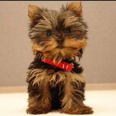 This WILL be my dog someday. So freakin cute. And fluffy!!