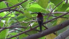 Vigors's Sunbird (SHRIKANT MADHAV KELKAR)