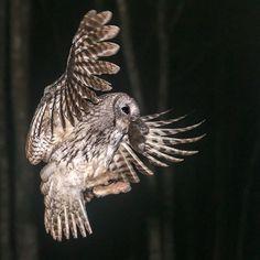 #owl #kattuggla #Tawny_owls #mrfyllinge #birdextreme #igbirds #nature_sultans #birdfreaks #splendid_animals #worldclassshots #nature_of_our_world #udog_feathers #tv_nature #animalelite #tgif_aviary #jj_justnature #magic_shots #nature_wizards_vip #animalfanatics #ig_sweden #pict_lovers #trb_creature_feature #nuts_about_birds  #RSA_nature #starwinners #naturelovers_gr #IC_nature  #watschirping #your_best_birds #bestbirdshots