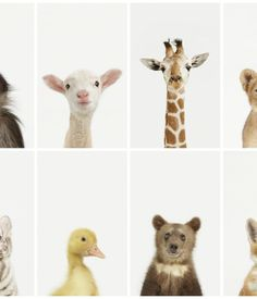 "Photographer Sharon Montrose established her Animal Print Shop after the 20x200 model—affordable, high-quality art prints in a variety of sizes. Her Little Darlings series of baby animals is cute, but not sickly sweet. (Animal Print Shop, $25 for 8.5""x11"" print to $3,500 for a 40""x50"" print.) Photos: Sharon Montrose."