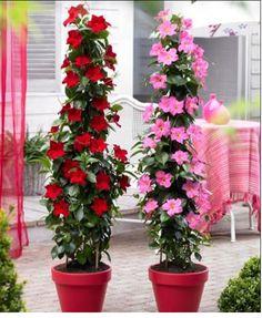 Tüpü Kokulu Kırmızı Mandevilla Çiçeği Fidanı