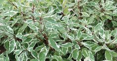 The Ivory Halo Dogwoodis a compact, variegated dogwood, with green & white foliage; bright red twigs add winter interest; finer textured and more compact than others. H: 5-6′ W: 5-6′ Sun Requirements: Full to Part Sun