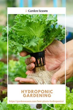 Best Plants for Hydroponics: Lettuce | lettuce grows well even in low light and temperatures, and it doesn't require full sun. So if you're new to this growing method, I recommend you go for a lettuce plant as your starter crop. Almost any lettuce variety grows quickly in a hydroponic system. Some of them include bib, butter crunch, and Romaine, which can be ready in 3 to 4 weeks. Lettuce plants can be grown in any hydroponic system which includes the aeroponics, ebb-and-flow, NFT, etc.