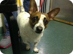 Hampton, VA - Corgi/Jack Russell Terrier Mix. Meet Beauty a Dog for Adoption.
