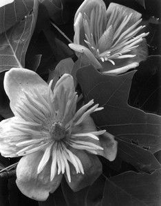 This image is of the flowering Tulip Tree, a deciduous tree native to the eastern United States.  By the mid 1930s, Imogen had exhibited a number of botanical images, both overseas and in local exhibitions.  Imogen was drawn to dynamic plant forms, which she most often captured in natural light with large format cameras.