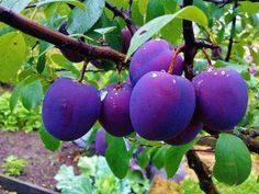 Information about fruit trees, fruit bearing trees for sale, online nurseries