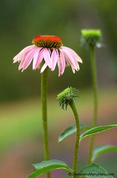 Growing Purple Coneflower
