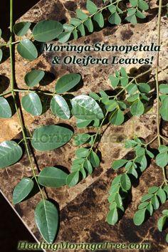 Moringa Stenopetala & Oleifera leaves! www.HealingMoringaTree.com