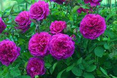 beautiful - Sir John Betjeman, new release David Austin rose