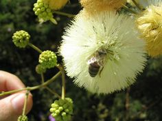 Jurema e abelha. Flores da Caatinga.