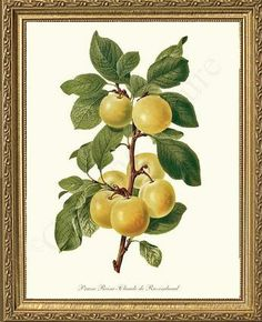 Plum Prune Reine Claude de Razimbaud Fruit Art Illustration. Giclee Art Print, $89.95