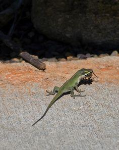http://fineartamerica.com/featured/green-anole-lizard-vs-wolf-spider-chris-flees.html