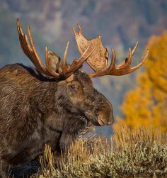 North American Moose Photo by Turk Images on Flickr. Though their range does not historically extend to CT, They may be migrating here, as there have been sightings: http://www.nbcconnecticut.com/news/local/Moose-Killed-on-I-84-267854461.html Warning: STAY AS FAR AWAY FROM THEM AS POSSIBLE. THEY HAVE BEEN KNOWN TO KILL PEOPLE IF APPROACHED. THEY ATTACK MORE PEOPLE ANNUALLY THAN BEARS DO. #moose
