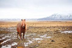 Note: Icelandic Horses