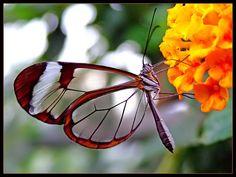 Mariposa Alas de Cristal (Greta oto)  Su envergadura es de entre 5,5cm. y 6cm. El tejido entre las venas de sus alas parece de vidrio al carecer de escalas de color. El borde de sus alas es de color marrón oscuro, a veces teñidas de rojos o naranja y su cuerpo es de color oscuro. Está especie presenta unos comportamientos especiales como largas migraciones; se la puede encontrar en América Central, los adultos realizan migraciones de México a Panamá.