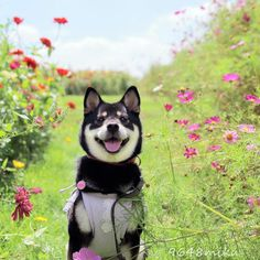 Shiba Inu Miku loves being in nature and smelling the wonderful scent of fresh flowers.