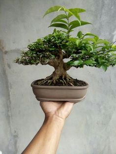 Mame Bonsai, Bonsai Styles, Bonsai Art, Minis, Gardening, Plants, Naturaleza, Lawn And Garden, Plant