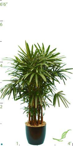 Rhaphis Palm Best Indoor Plants, Air Pollution, Tropical Plants, Houseplants, Palm, House Plants, Hand Prints, Interior Plants, Container Plants