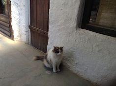 Mais um lindo gatinho - Chile ( Domenicos)).