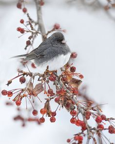 The Dark-eyed Junco, commonly called snowbird because of its sudden appearance around winter bird feeding stations, is a member of the sparrow family.