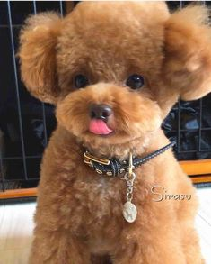 The many things we all respect about the Active Poodle Puppies Toy Puppies, Little Puppies, Little Dogs, Cute Puppies, Dogs And Puppies, Poodle Puppies, Dog Grooming Styles, Poodle Grooming, Small Poodle