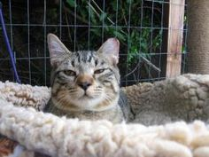 Morgan is an adoptable Bengal Cat in San Rafael, CA. Morgan is a beautiful bengal/tabby boy who was rescued in a feral cat colony, notice his distinguished tipped left ear. He is far from feral, a lov...