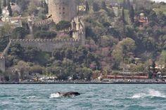 #Dolphins #Istanbul #Bosphorus #Rumelihisari #Erguvan #Judastree