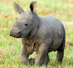 These 15 Animals Without Hair Are Barely Recognizable White-Rhino-Ulusaba-Lodge-Greater-Kruger-National-Park-South-Africa-Safaris by Bushtracks Safari Animals, Animals And Pets, Baby Animals, Cute Animals, Animal Babies, Exotic Animals, Strange Animals, Exotic Pets, Wild Animals