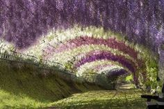 Wisteria Tunnel in Kitakyushu, Japan: An exquisite tunnel of cascading flowers.    Directions: Take the Shinkansen to Kokura station. Change to the JR Kagoshima line for Yahata station.From Yahata station, take the Nishitetsu bus to Kawachi Syougakou mae (Kawachi Elementary School). Buses only run once an hour or so, and the stop is not close. A taxi might be a better, but expensive, option.