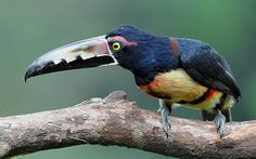 Collared Aracari - Pteroglossus torquatus - Found from southern Mexico to Panama and also in Ecuador, Colombia, Venezuela and Costa Rica, this toucan is of the family Ramphastidae - Image : © Callyn Yorke 2012