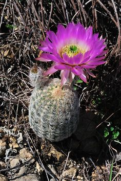 Echinocereus reichenbachii subsp. caespitosus, USA, Texas, Shackelford Co.  More Pictures at: http://www.echinocereus.de
