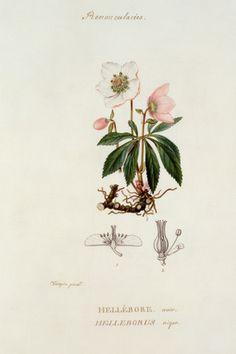 Hellebore noir, Helleborus niger, Pierre Jean Francois Turpin, c. 1820.