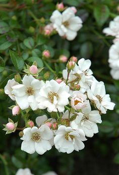 Shrub Rose: Rosa 'Weisse Immensee' (Germany, 1983)