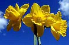 Daffodils symbolism and history
