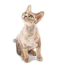 It likes human companionship and tries to snuggle up as much as it can, The Devon Rex #Cats