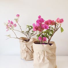 """""""We celebrated #christmas with my family yesterday and I was gifted one of the best gifts so far this season. Two beautiful bougainvilleas for our garden -…"""""""