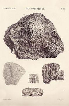 Salt Range Fossils of India