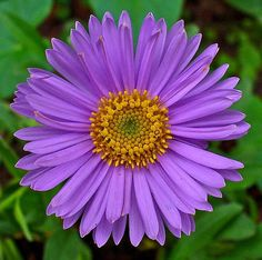 These garden beauties thrive in summer heat and bloom nearly nonstop into fall. Aster These daisy-like flowers are available in lavende.
