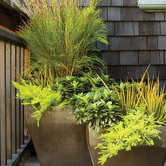 "Shades of green container garden -   Restio multiflorus (grass), libertia peregrinans (orangish reed), euphorbia (broad leaves) and Coleonema pulchellum (feathery chartreuse) in a 17"" pot."